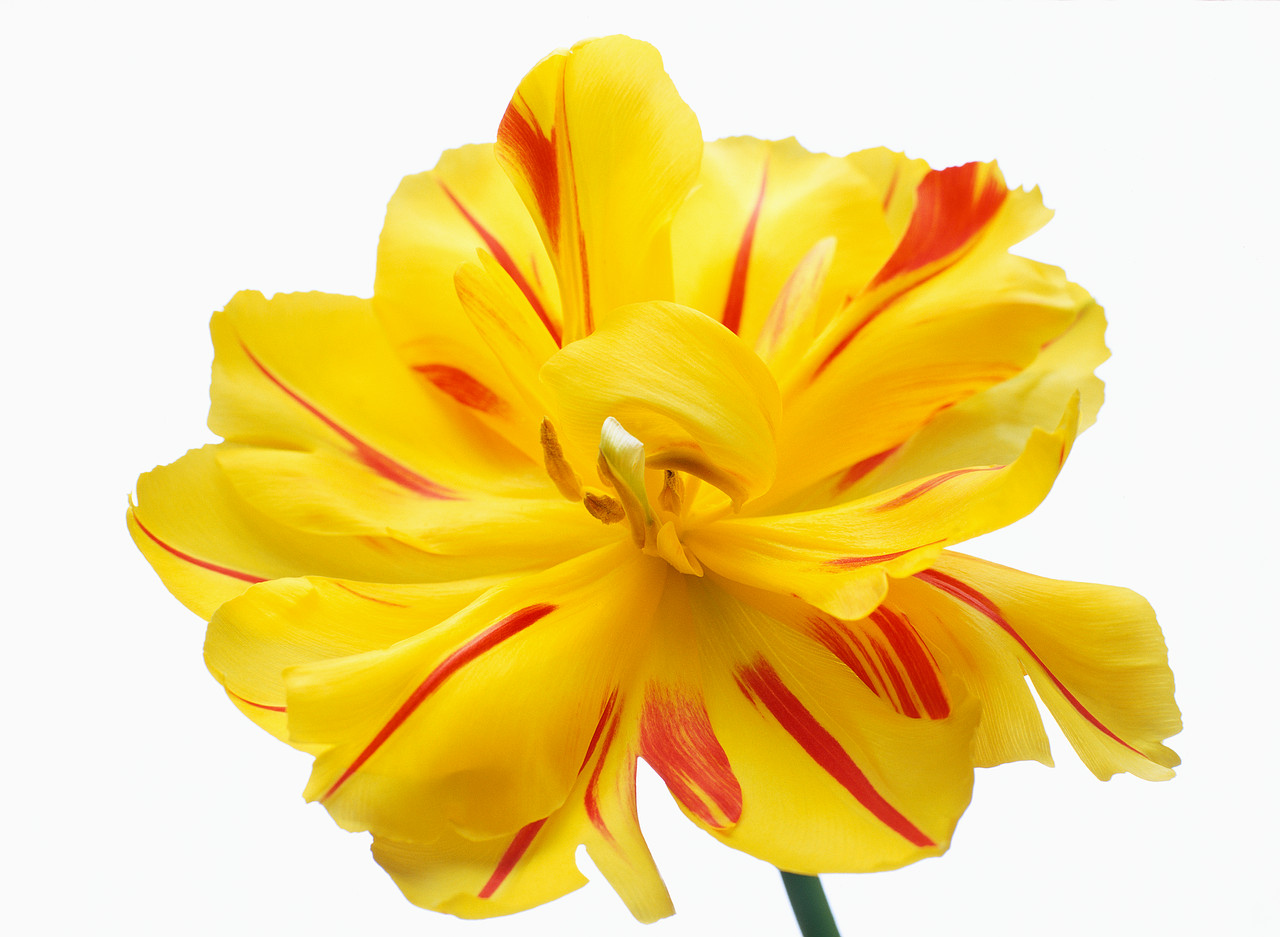 Yellow Flower With Red Stripes