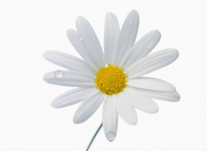 ca. 2001 --- White Daisy --- Image by © Royalty-Free/Corbis
